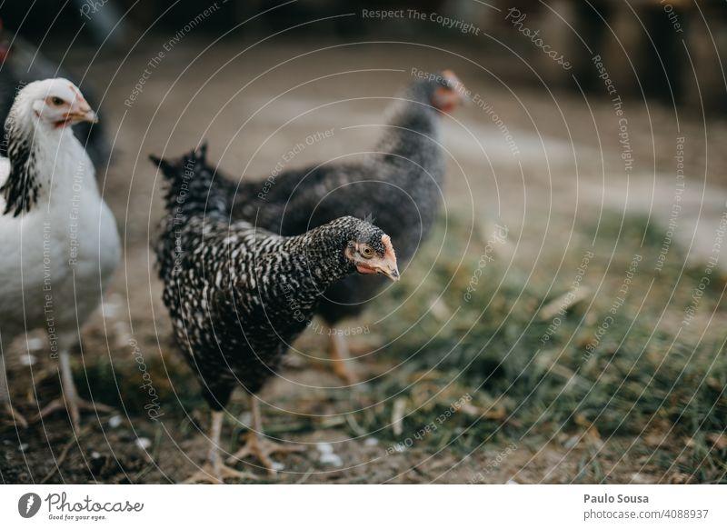 Nahaufnahme Hühner Hähnchen Federvieh Vogel Bauernhof Tier Außenaufnahme Haushuhn Hahn Schnabel Ackerbau Nutztier Farbfoto Bioprodukte Küken Tierporträt Natur
