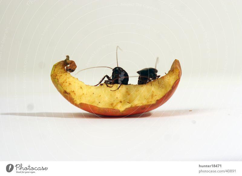 bugslife Schaben Gemeine Küchenschabe Apfel Nahaufnahme Schädlinge Befall