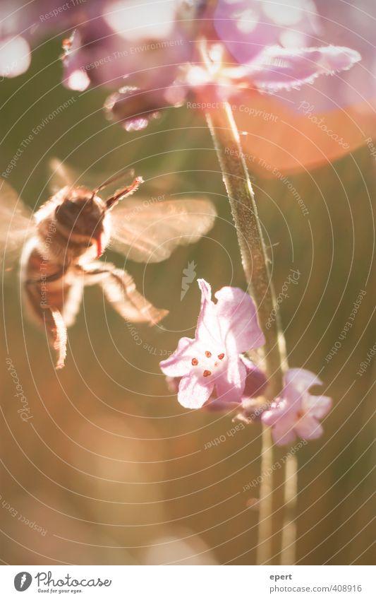 Von den Bienchen und den Blümchen Natur schön Sommer Blume Tier Bewegung Blüte fliegen Blühend Insekt Biene Duft Leichtigkeit Reinheit