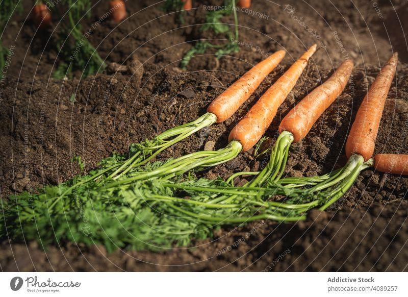Möhren im Erdboden Karotten Bauernhof Vegetarier Saison orange Gesundheit Ackerbau Wurzel Blatt Lebensmittel lecker Veganer ungewaschen Erde grün natürlich reif