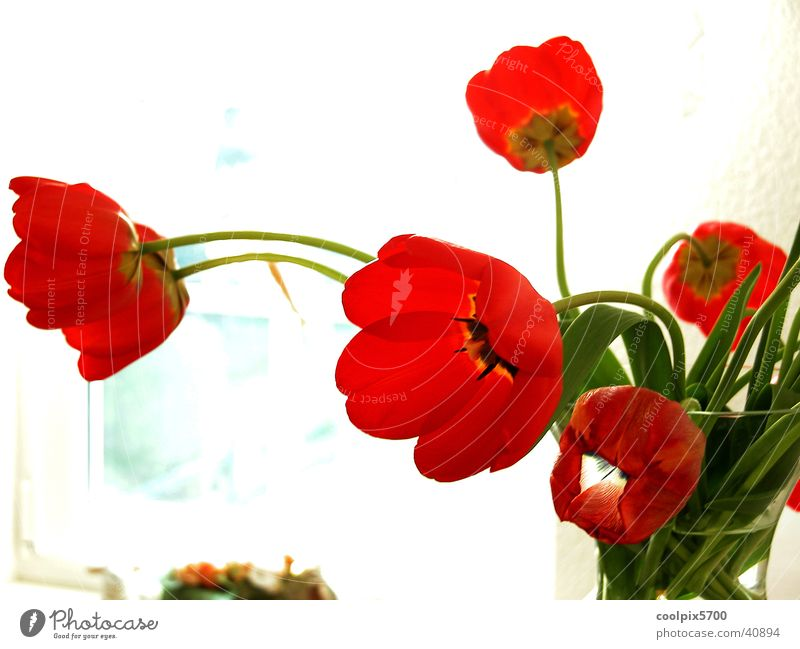 Blume am Fenster Natur rot Farbe