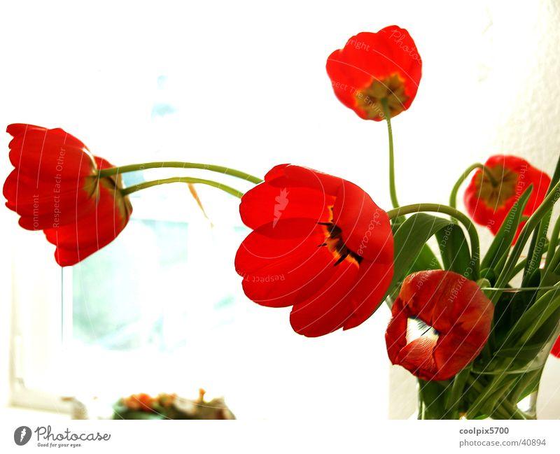 Blume am Fenster Natur Blume rot Farbe