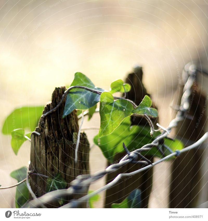 Efeu rankt um marode Holzzaunspitze plus Stacheldraht Umwelt Natur Pflanze Schönes Wetter Grünpflanze frisch braun grau grün Optimismus Unendlichkeit