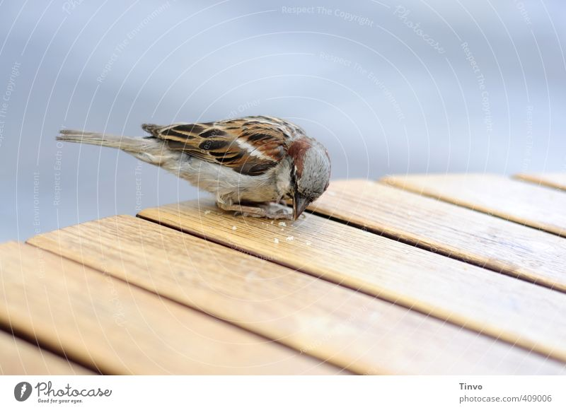 Spatze pickt Krumen von Holztisch blau Tier grau klein Essen braun Vogel niedlich Tisch füttern Tischplatte Krümel picken