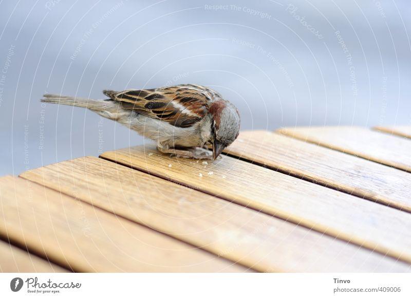 Spatze pickt Krumen von Holztisch Vogel 1 Tier füttern klein niedlich blau braun grau Krümel Essen Tisch Tischplatte picken Farbfoto mehrfarbig Außenaufnahme