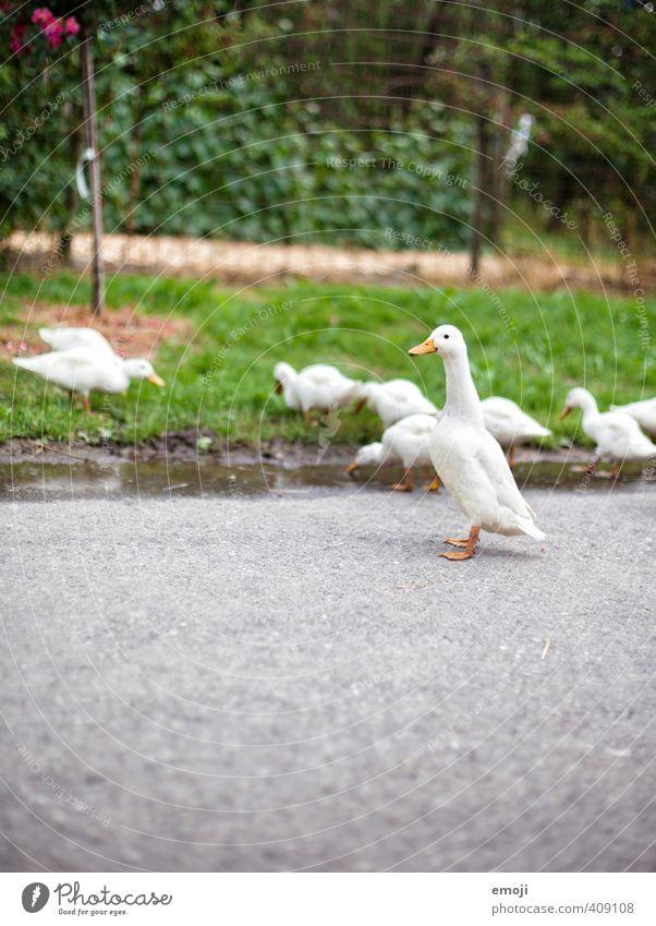 Gänse Natur Pflanze Tier Umwelt Tierjunges natürlich niedlich Tiergruppe Neugier Bauernhof Nutztier Gans