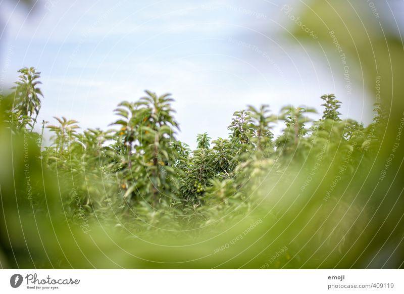 Obst Umwelt Natur Landschaft Pflanze Himmel Baum natürlich grün Landwirtschaft Obstbau Plantage Farbfoto Außenaufnahme Menschenleer Textfreiraum oben Tag