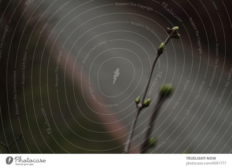 Ins Dunkel eingeschlossen scheint es den Knospen jetzt nicht mehr geheuer: sie drängeln schon - ist doch der Frühling da. Es ist ein neuer... Zweig Trieb Natur