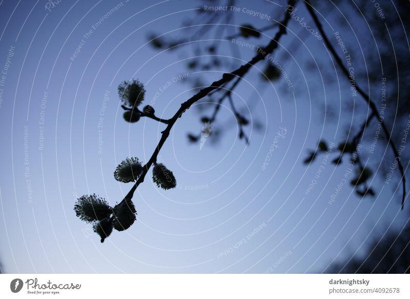 Blüten der Weide im Gegenlicht mit abendlicher Stimmung zur blauen Stunde Salix Bruchweide Bienenweide Frühling Stimmungsvoll Baum Pflanze Weidenkätzchen