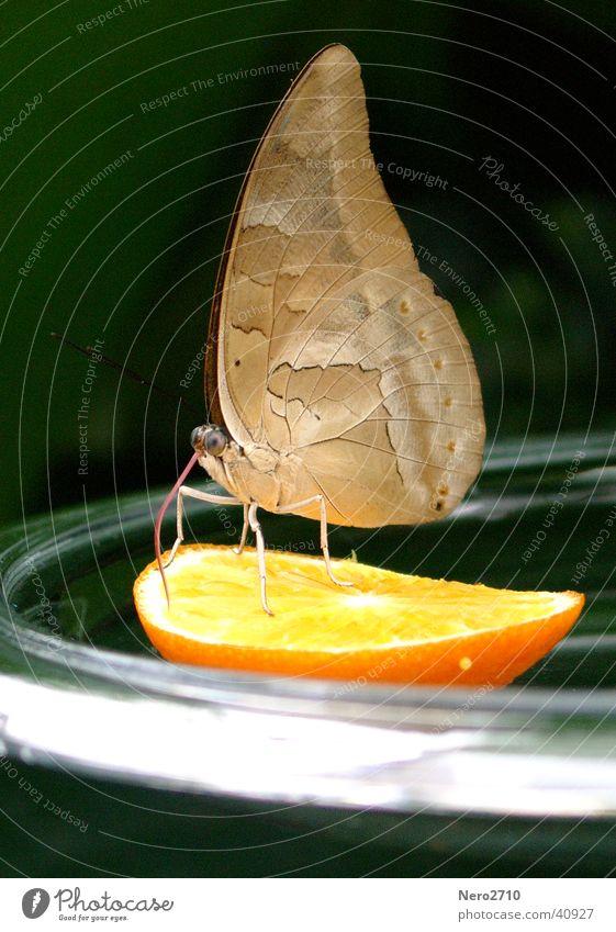 Schmetterling orange Insekt