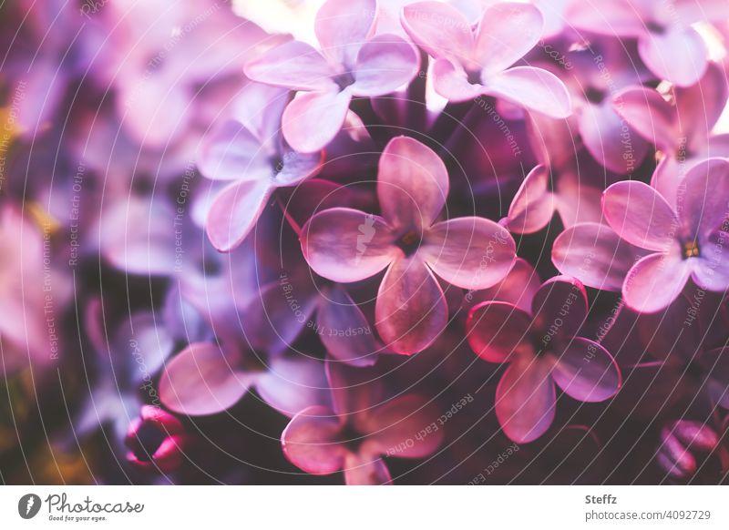 Fliederblüten mit betörendem Duft Fliederduft Fliederstrauch Syringa Fliederbusch Syringa vulgaris betörender Duft duftende Blüten Blütezeit Mai Frühlingsblumen