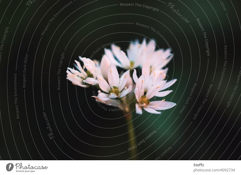 Bärlauch blüht im Schatten Bärlauchblüte Allium Allium ursinum essbare Pflanze April Mai Wildgemüse wilder Knoblauch Waldknoblauch Wildpflanze heimisch