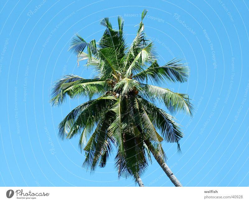 Palme Himmel Ferien & Urlaub & Reisen Asien Palme Baumkrone Palmenwedel