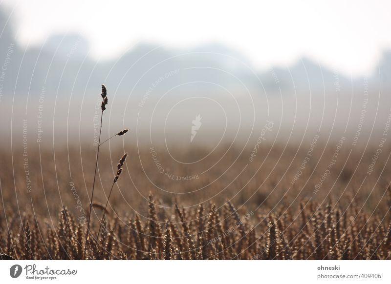 Ausreißer Natur Landschaft Feld Wachstum einzigartig Landwirtschaft Getreide Forstwirtschaft Nutzpflanze Getreidefeld