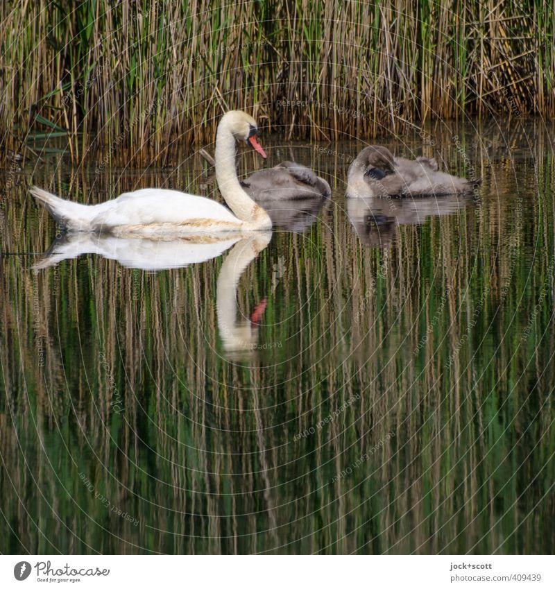 Schwäne groß und klein Pflanze Teich Wildtier Schwan 3 Tier Tierjunges schlafen Geborgenheit Romantik Wachsamkeit Leben Umwelt Röhricht Seeufer Lebensraum