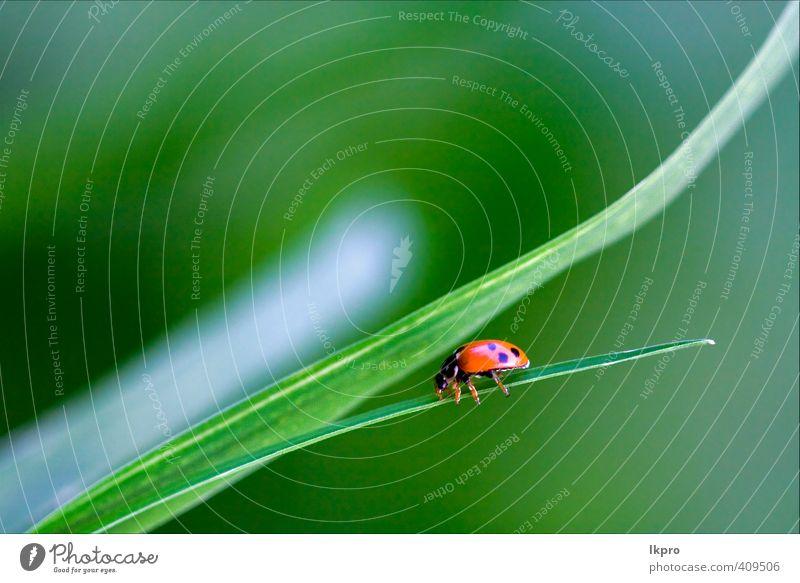 von wildem rotem Marienkäfer Coccinelli. Sommer Garten Natur Pflanze Blume Gras Blatt Weiche Pfote Linie Blühend braun grau grün schwarz weiß Farbe