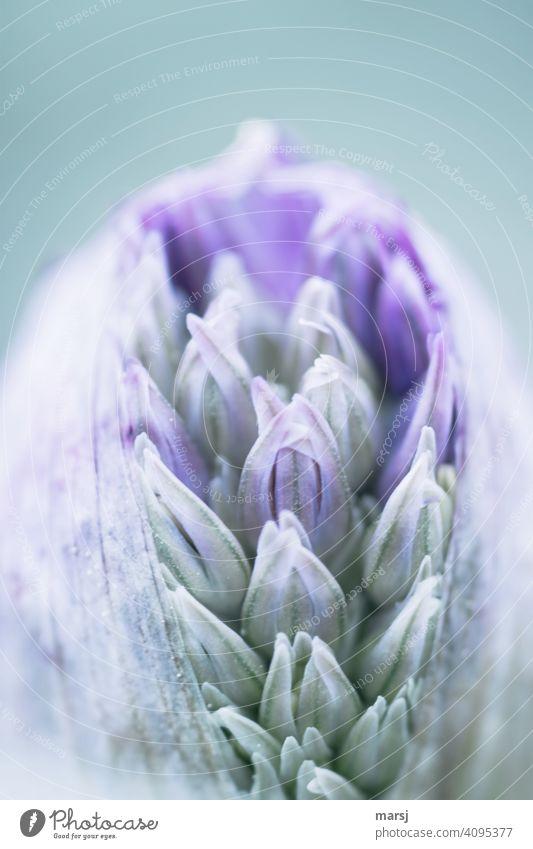 Platzende Blütenknospe vom Zierlauch. Die einzelnen Blütenblätter müssen sich noch entfalten. Blütenknospen Wachstumsphase neues leben Energie beschützen