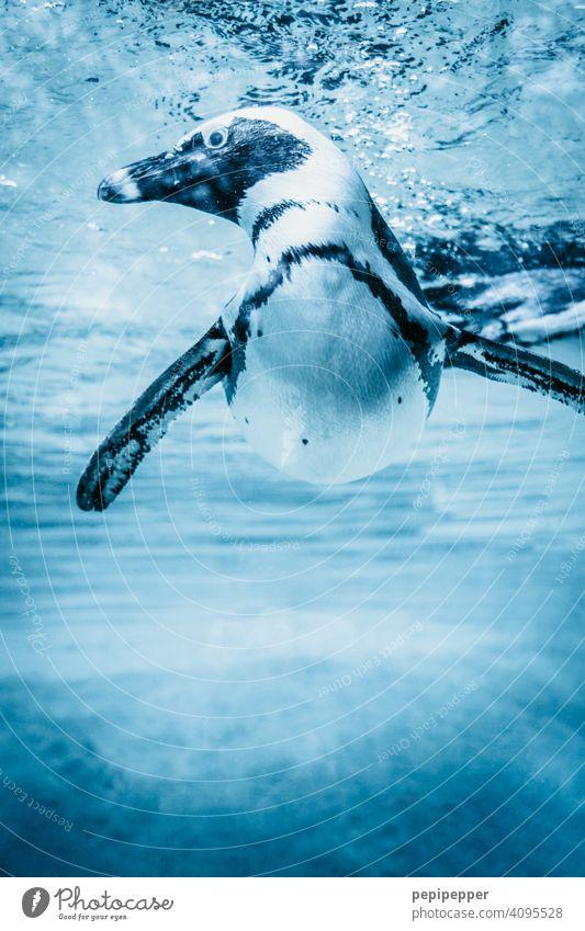 Humboldt-Pinguin im Wasser Pinguine Schwimmen & Baden Tier tauchen Aquarium Unterwasseraufnahme Tierporträt blau Meer Wildtier Menschenleer Nahaufnahme exotisch