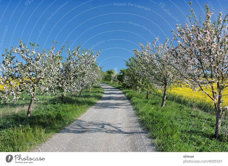 Feldweg durch eine in Blüte stehende Obstbaumallee, links und rechts blühender Raps, dazu blauer Himmel / Frühling / Feldrain Obstblüte Apfelbaum Allee Weg