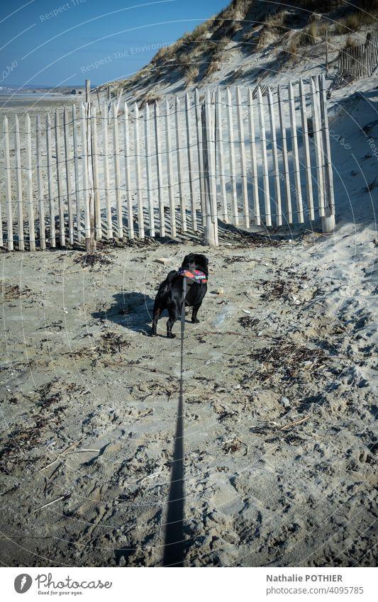 Hund an der Leine, der am Strand spazieren geht Spaziergang angeleint anleinen Leinenhund Haustier Tier Gassi gehen Farbfoto Außenaufnahme Hundeleine Natur