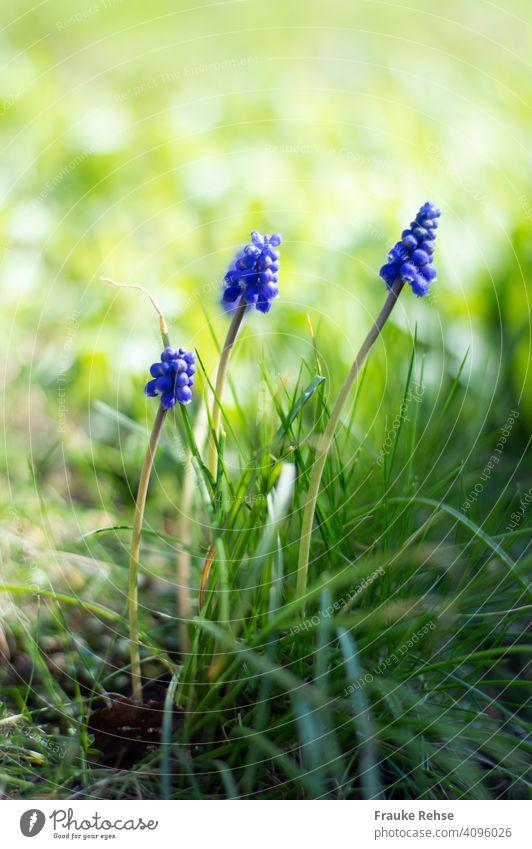 Drei Perlhyazinthen (Muscari) im Gras blau dunkelviolett Traubenhyazinthe Frühjahr Frühling Blüten Blütentrauben Schönheit der Natur Blume geringe Tiefenschärfe