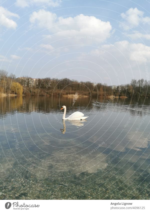 Einsamer Schwan auf dem See Wasser See idylle see Außenaufnahme Tier Natur Naturfotografie Schwimmen & Baden Reflexion & Spiegelung Farbfoto Vogel