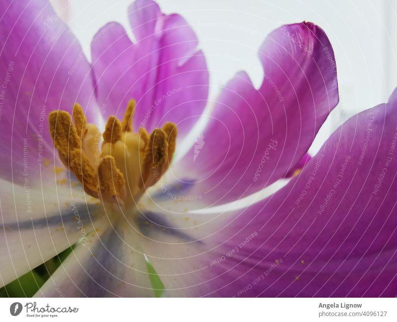 Tulpe hautnah Blume Blüte Detailaufnahme Nahaufnahme Makroaufnahme violett Frühling Blütenblatt Pflanze Natur Innenaufnahme