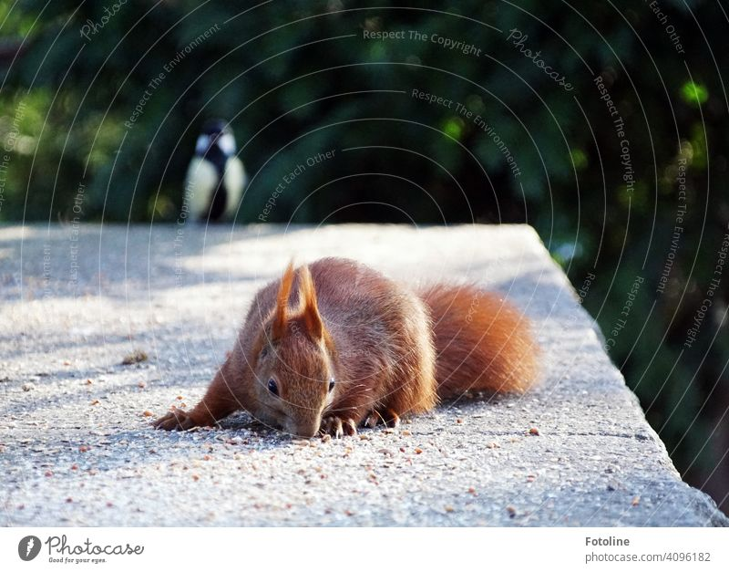 Heimlich klaut das Eichhörnchen das Vogelfutter. Doch die wachhabende Kohlmeise hat es schon entdeckt und schlägt alarm. Tier Natur niedlich Wildtier Farbfoto