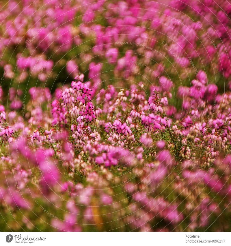Leuchtend pinke Erikablüten vertreiben die Tristess des Friedhofs rosa Pflanze Natur Blüte Blume schön Blühend Frühling natürlich Farbfoto Nahaufnahme
