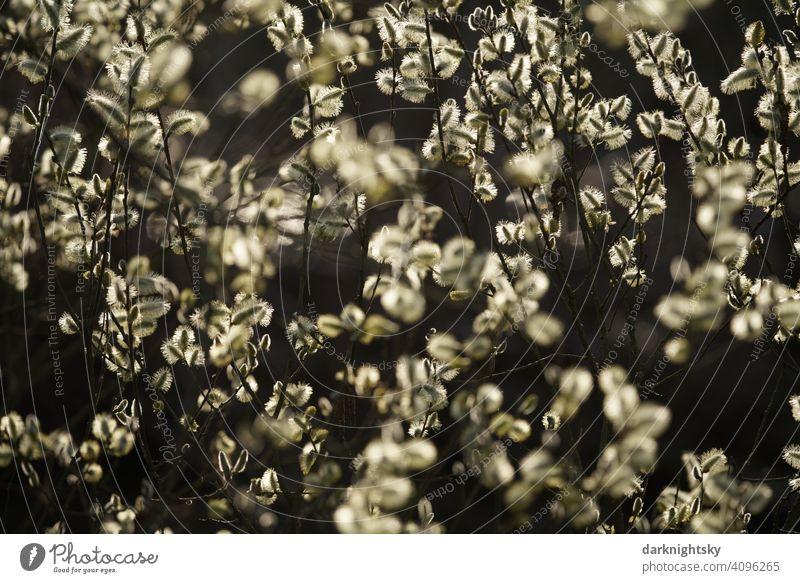 Blüten der Weide im Gegenlicht mit zauberhafter, fröhlicher Stimmung Salix Bruchweide Bienenweide Frühling Stimmungsvoll Baum Pflanze Weidenkätzchen