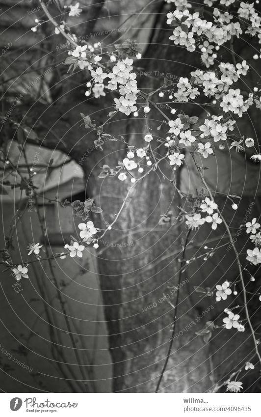 Baumblüte für Schwarzweißseher Blütenbaum Frühling Apfelblüte Kiirschblüte blühen sw