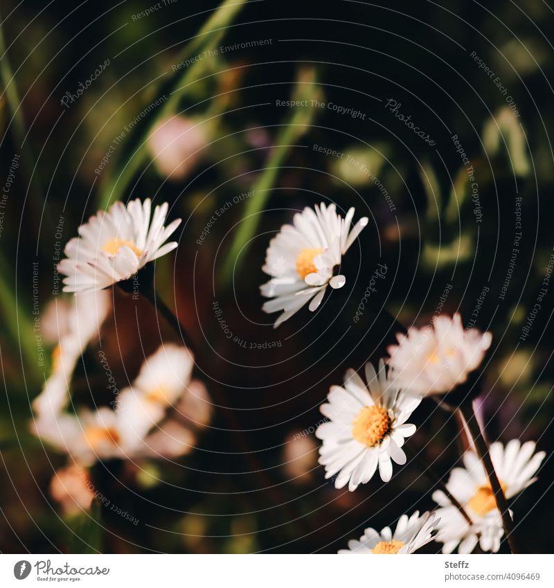 Gänseblümchen wenden sich dem Licht zu heimisch heimische Wildpflanzen heimische Wildblumen Bellis perennis Wiesenblümchen Wiesenblumen April blühende Blumen