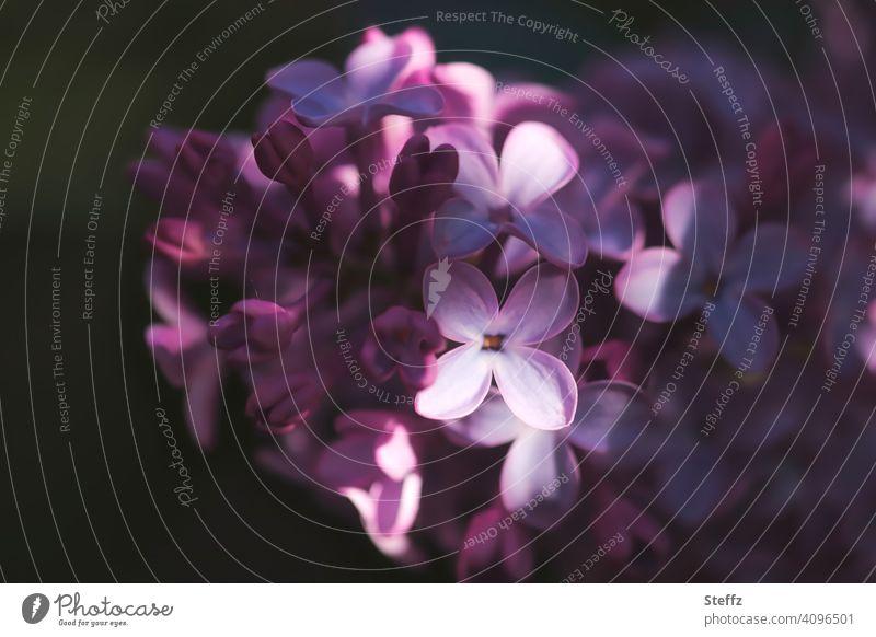 Fliederblüte mit Lichtstreifen Fliederduft Fliederstrauch blühender Flieder Lichteinfall blüht Fliederbusch Syringa vulgaris betörender Duft duftende Blüten