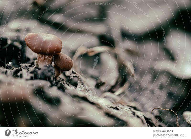 winzige junge Pilze im Frühlingswald Rötelzweig Tubaria furfuracea Lettland erste Champignons giftig Halluzination Gift Gefahr gefährlich Mykologie Arten braun