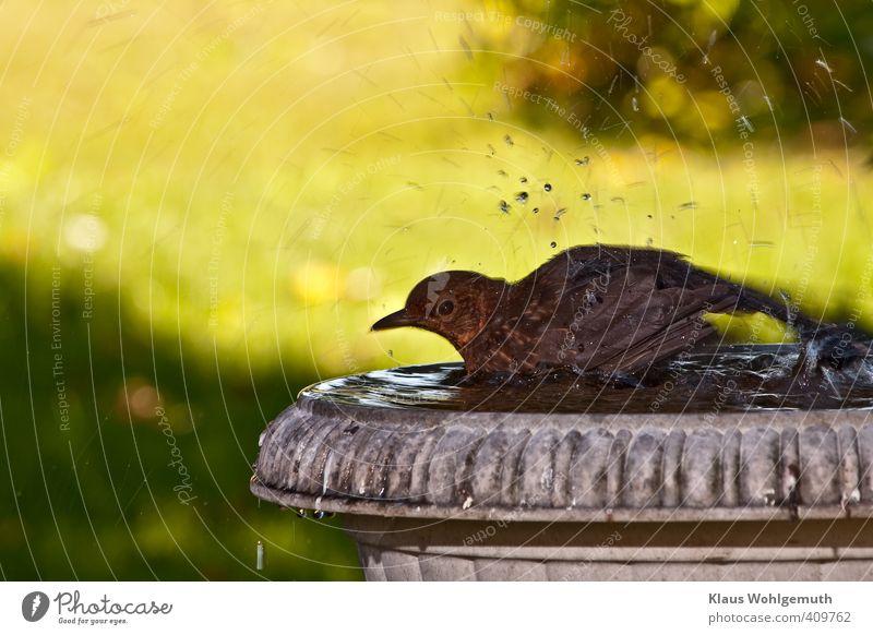 Badetag 1 Umwelt Natur Tier Wasser Wassertropfen Garten Wiese Wildtier Vogel Amsel Turdus merula Schwimmen & Baden feminin braun Farbfoto Außenaufnahme Tag