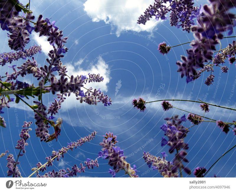 Lavendelduft Duft duften Lavendelblüten Himmel Sommer schönes Wetter Wölkchen Froschperspektive lila violett Blüte Pflanze Garten Heilpflanzen