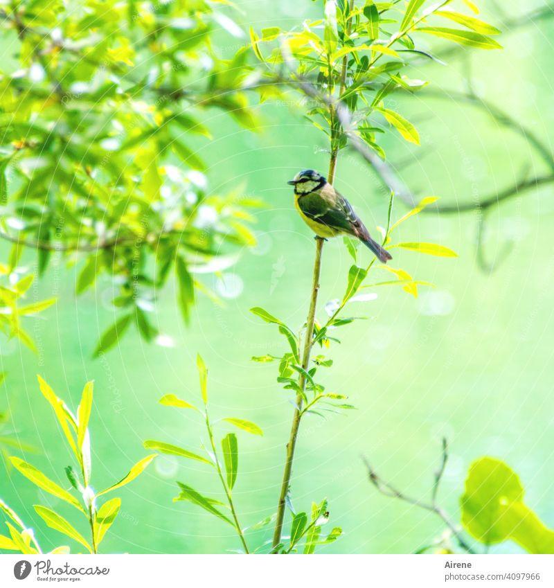 Drunten in der grünen Au Blaumeise Meise Auwald Wasser Fluss See Ufer Teich glitzern Zweig Ast Vögelchen Vogel klein nett niedlich Frühling frisches Grün gelb
