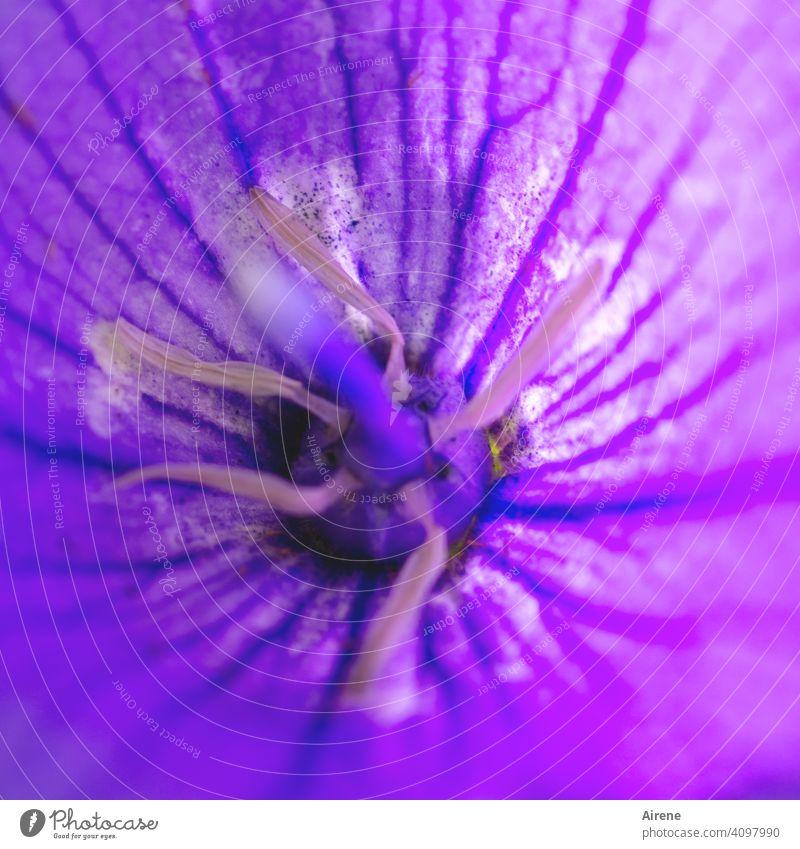 tiefer Einblick Glockenblume Campanula lila violett intensiv kräftig Eibisch grell Blüte Natur Strauch campanula arvatica Gartenblume Blumenbeet Ziergarten