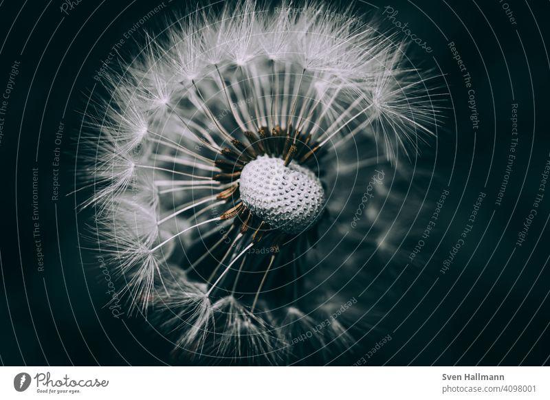 Löwenzahn mit schwarzem Hintergrund Natur Pflanze Blume Makroaufnahme Nahaufnahme Sommer Herbst Schlag Außenaufnahme Himmel filigran Samen Zahn senken Air weiß