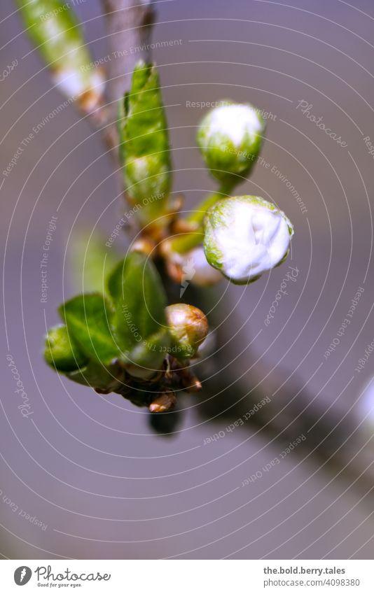 Knospe eines Baumes kurz vorm Öffnen Blüte Blätter Ast weiß Frühling Natur Pflanze Blühend Farbfoto Außenaufnahme grün Nahaufnahme natürlich schön Wachstum Tag