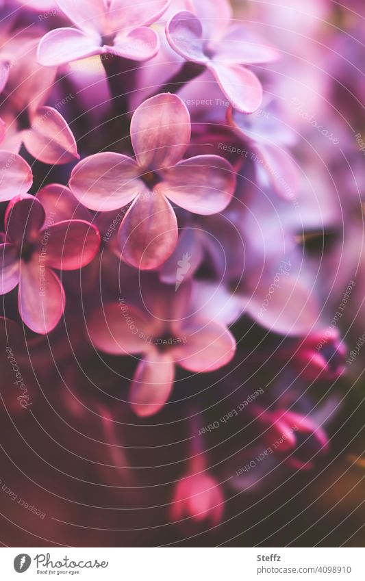 Fliederblüte mit dem Fliederduft Fliederstrauch Syringa Syringa vulgaris Fliederbusch betörender Duft duftende Blüten Blütezeit Mai Frühlingsblumen