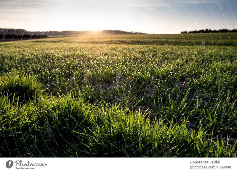 Glitzerndes Gras im Morgenlicht grün Sonnenaufgang Morgendämmerung morgens Morgenstimmung Tau Natur Wiese Sonnenlicht Licht Landschaft Menschenleer Farbfoto