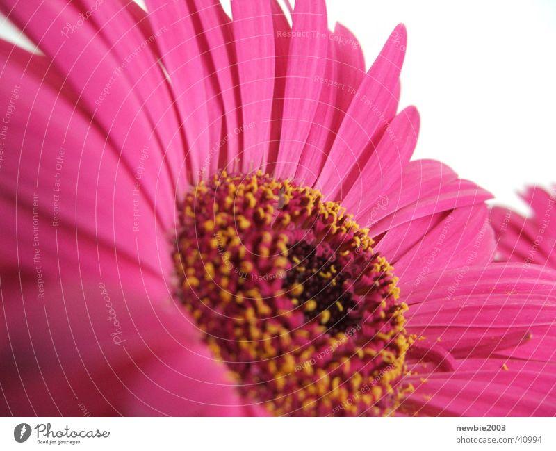 Flower Power Pink Flower Lila Blume