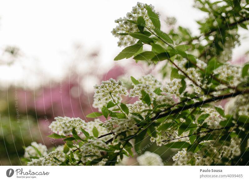 weiße Blumen Blüte Blühend Frühling Frühlingsgefühle Außenaufnahme Natur Pflanze Frühlingsblume Garten Farbfoto grün Unschärfe Frühblüher Wiese Frühlingsblumen