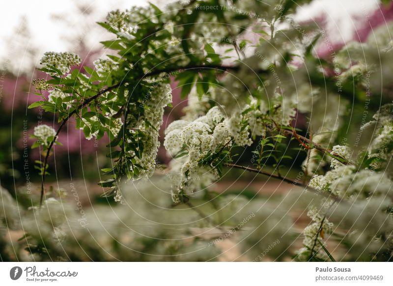 weiße Blumen Garten Blüte nah Blütenblatt Blühend Pflanze Natur Gartenblume Gartenpflanzen Sommer Unschärfe Schwache Tiefenschärfe Tageslicht Gartenblumen