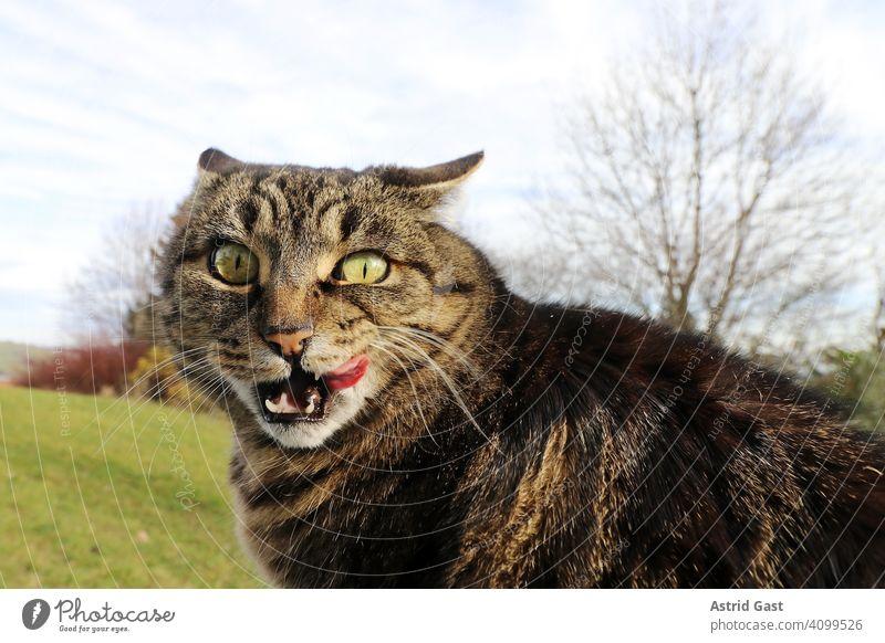 Lustiges Foto mit einer Katze die sich den Mund ableckt und dabei dämlich schaut katze lecken schlecken zunge nase ablecken lustig witzig spaßig klein dick