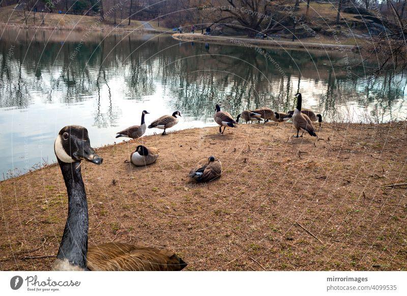 Kanadische Gans eine offene Fläche in der Nähe eines Sees Central Park New York eine Nahaufnahme Essen trockenes Gras Wildkanadagänse Kanadagans