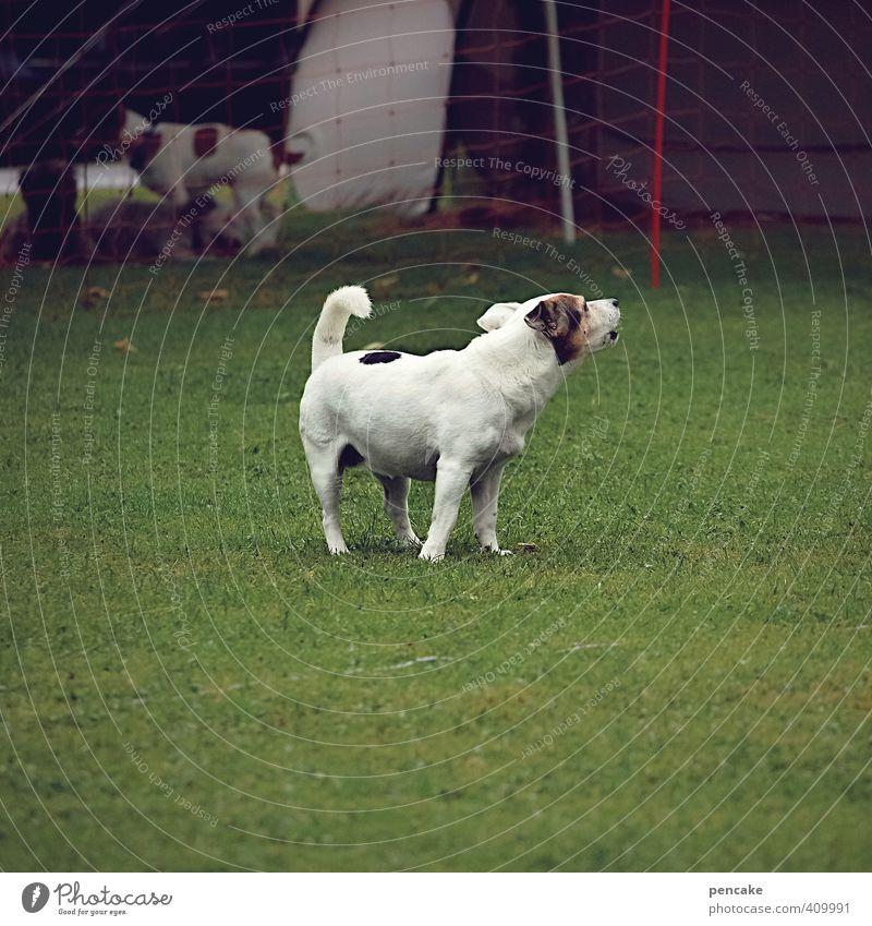 schwarzweißgrau | mit viel radau! Gras Wiese Haustier Hund 1 Tier bedrohlich frech lustig nachhaltig Kommunizieren Krach Bellen Farbfoto Außenaufnahme