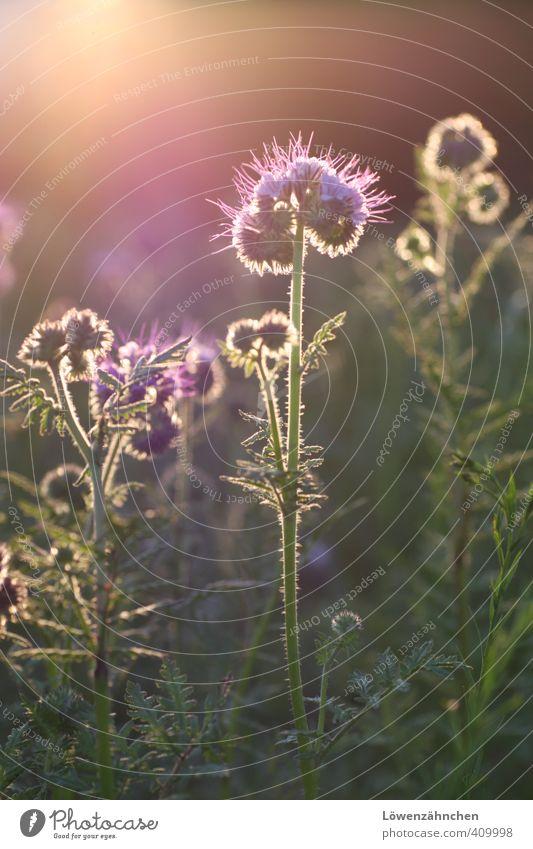 Warten auf Wunder... Natur Pflanze Sommer Schönes Wetter Blume Blüte Phacelia Bienenweide Feld Blühend leuchten fantastisch gold grün violett Glück