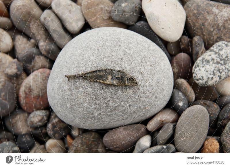 Fisch – Versteinerung Natur Tier Senior grau Stein ästhetisch Vergänglichkeit Fisch Vergangenheit Verfall Kieselstrand Strand Totes Tier